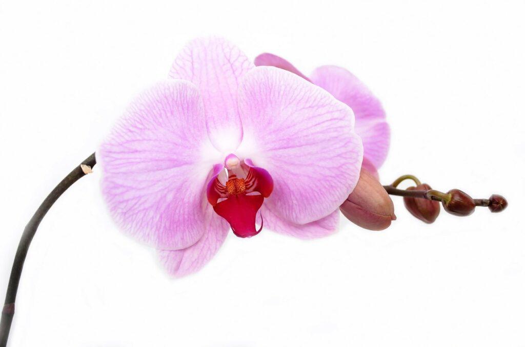 orchidée à feuille violettes