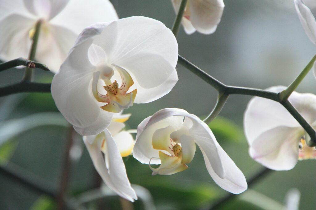 orchidée à feuille blanches