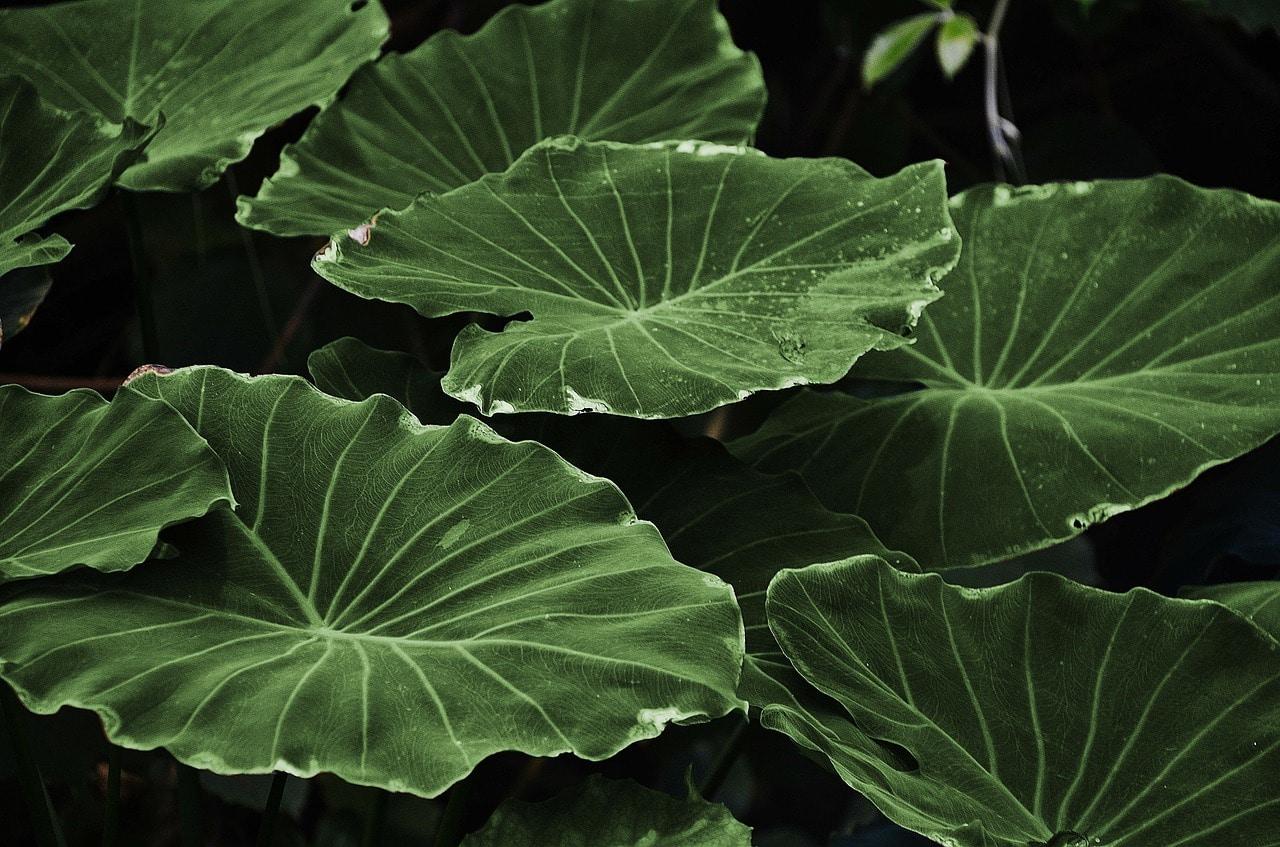 Des feuilles sans pucerons après application de lotion de bicarbonate de soude