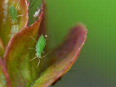 des pucerons sur une plante