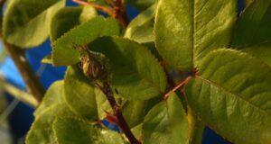 puceron sur une plante a l'exterieur
