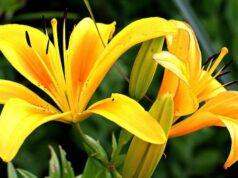 un lys jaune